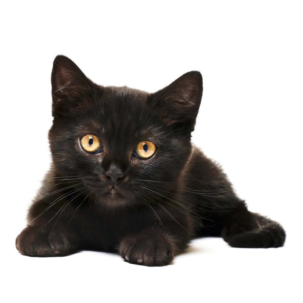 Black-cat-white-background.jpg