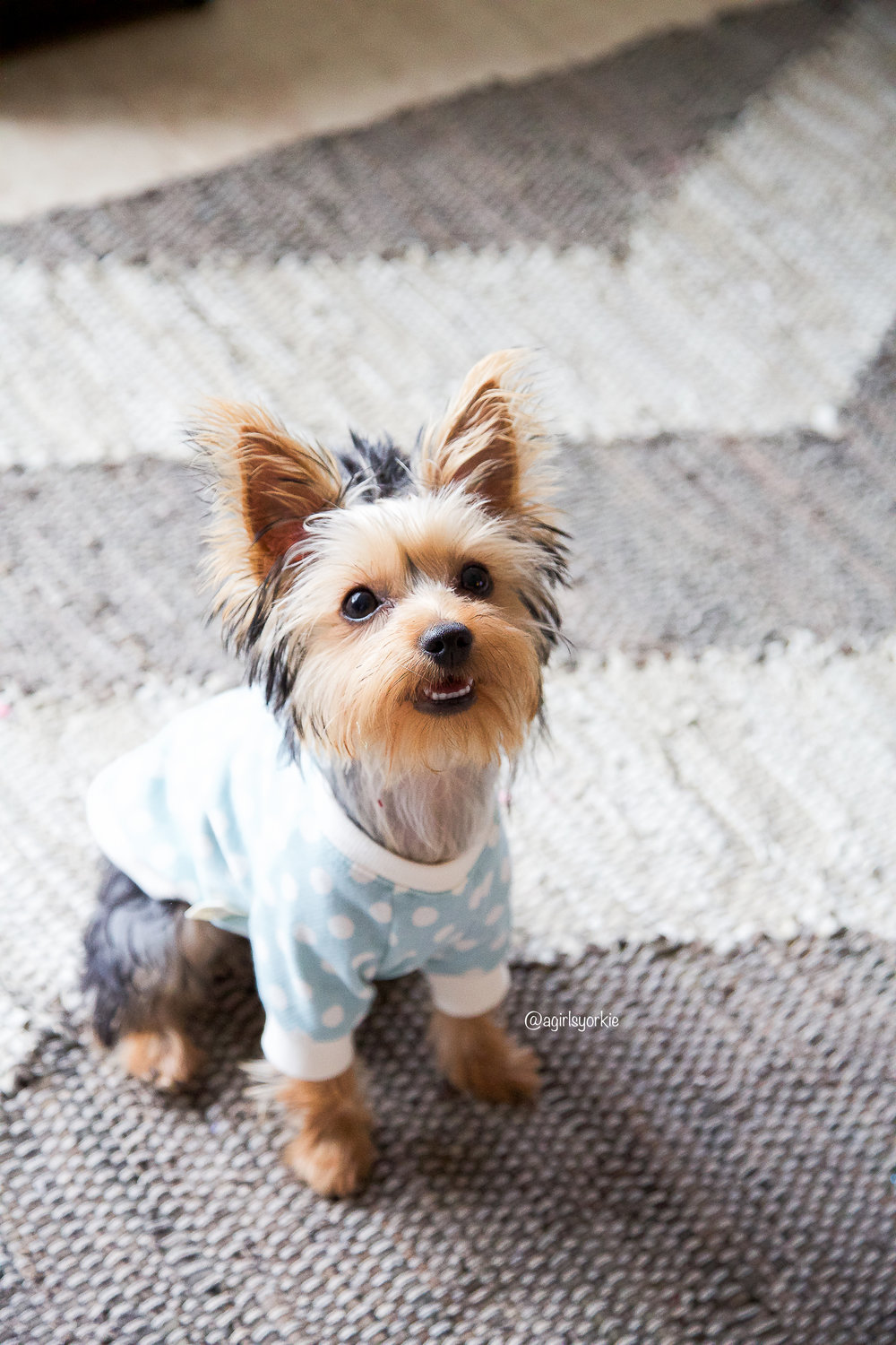 Bailey - Hi! I'm Bailey, a chic Yorkshire Terrier from Houston, Texas, who loves to show off the latest fashion trends on Instagram!  I am still a baby (born in January 2017), but I have been told that I already have more clothes than my daddy!  When I am not posing for fashion shoots, you will find me and mommy out and about.  We do everything together - shopping, dining, and traveling (by foot, car, and even airplane)!