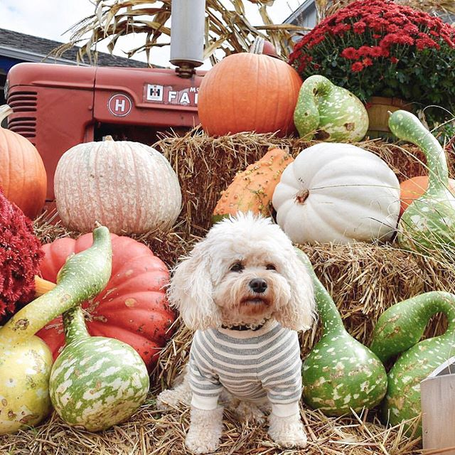 """Happy new week 🍁🙂🍂 I'm happy to report that I've been doing better for a few days & making new @StudioEloise as we speak! (Last weekend I made about 50 pom poms, fyi😆) I hope you all have happy, healthy, full of good luck kinda new week❤️ . Photo @CodytheCavachon one of our favorite handsome fall doods, sporting """"the Scooby"""" tee so well! 🎃 . . . . #StudioEloise #madeinnyc #petfashion #dogfashion #dogsinclothes #fashiondog #fashionpet #dogclothing #dogclothes #dogapparel #doghoodie #dogsweater #dogtshirts #dogsinsweaters #dogsinbandanas #dogsinsweaters #locallymade #dogsofnyc #nycdogs  #buzzfeedanimals #dogfessional #dogmodel #furbaby #smalldog #tinydog #maltese #yorkie #maltipoo #shihtzu"""