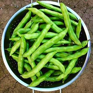 Summer fava bean harvest, backyard garden.