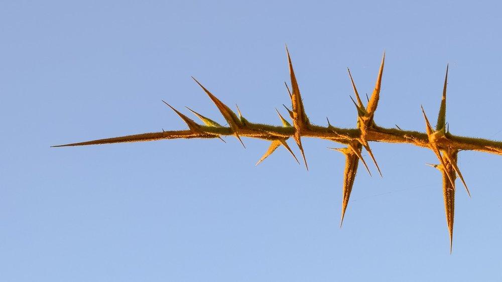 thorns-2487839_1280.jpg