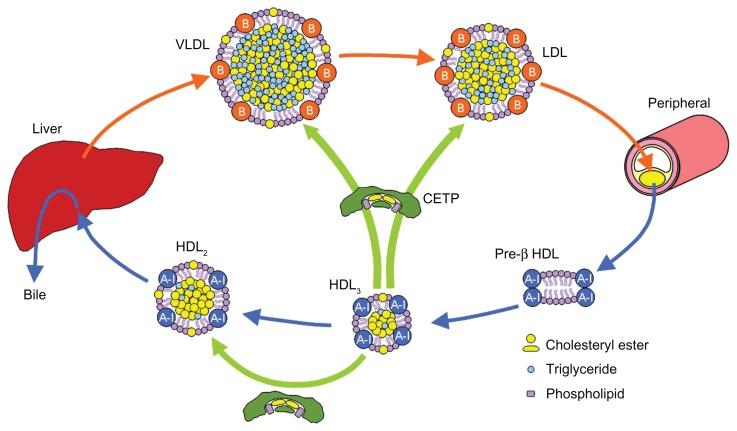 Cholesterol-transportAbbreviations-CETP-cholesteryl-ester-transfer-protein-HDL.png