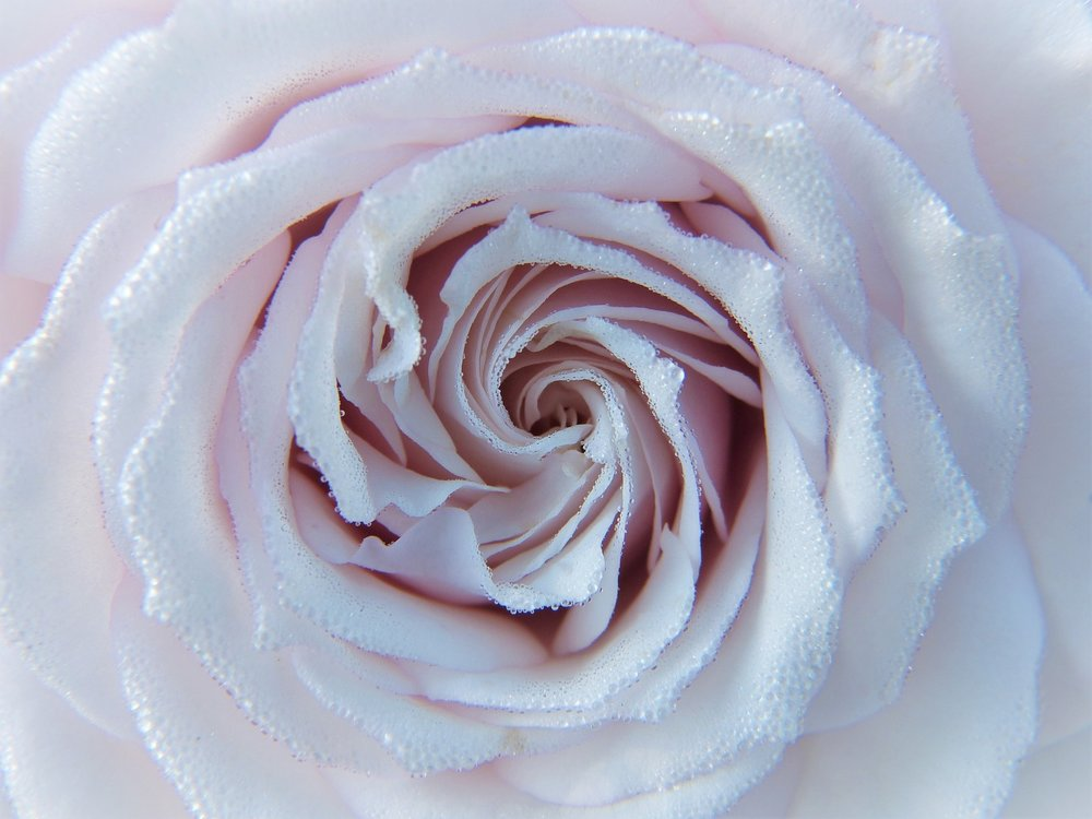rose-2634412_1920.jpg