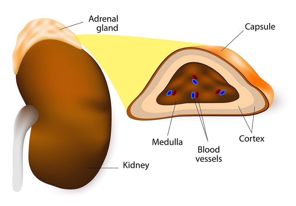 adrenal-gland-diagram.jpg