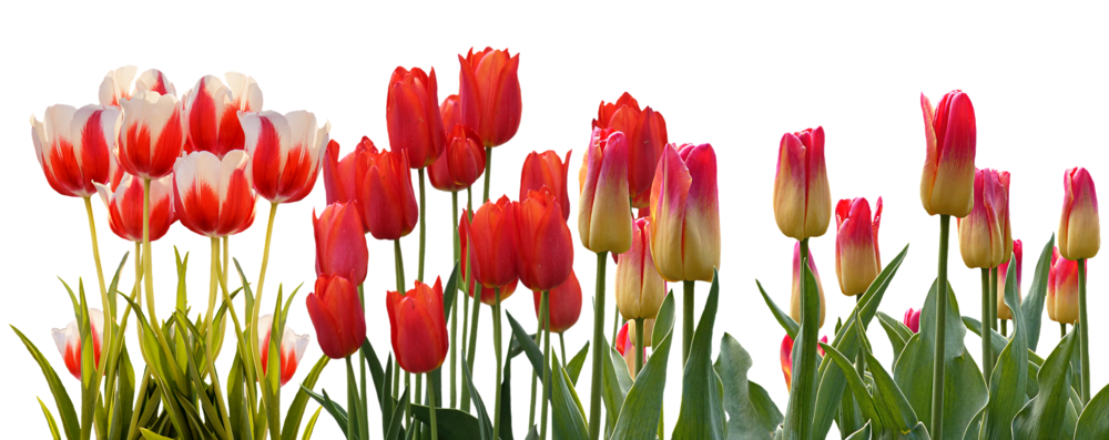 tulip-3024741_1920.png