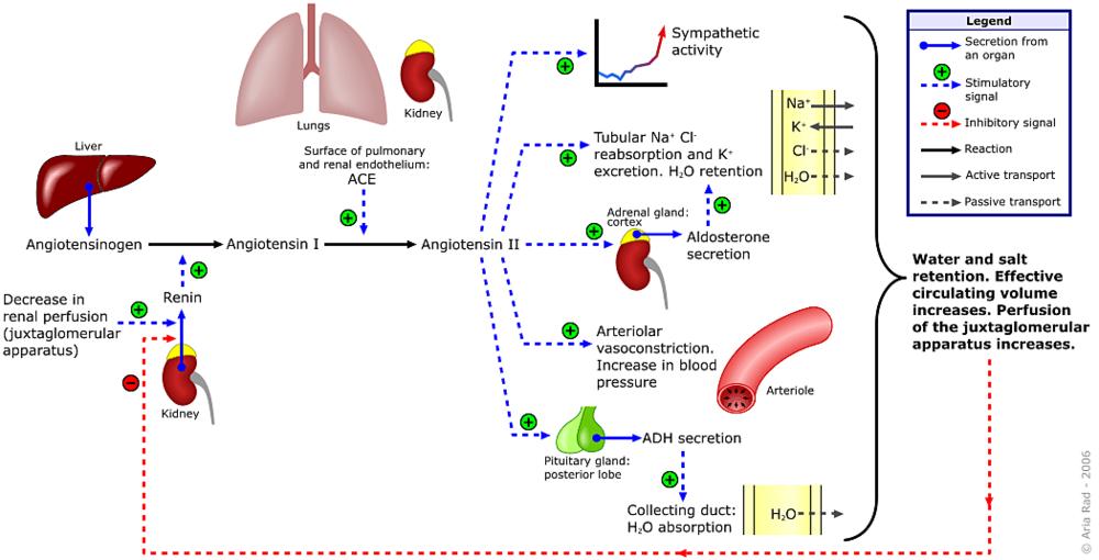 Renin-angiotensin-aldosterone_system-e1497189048805.png