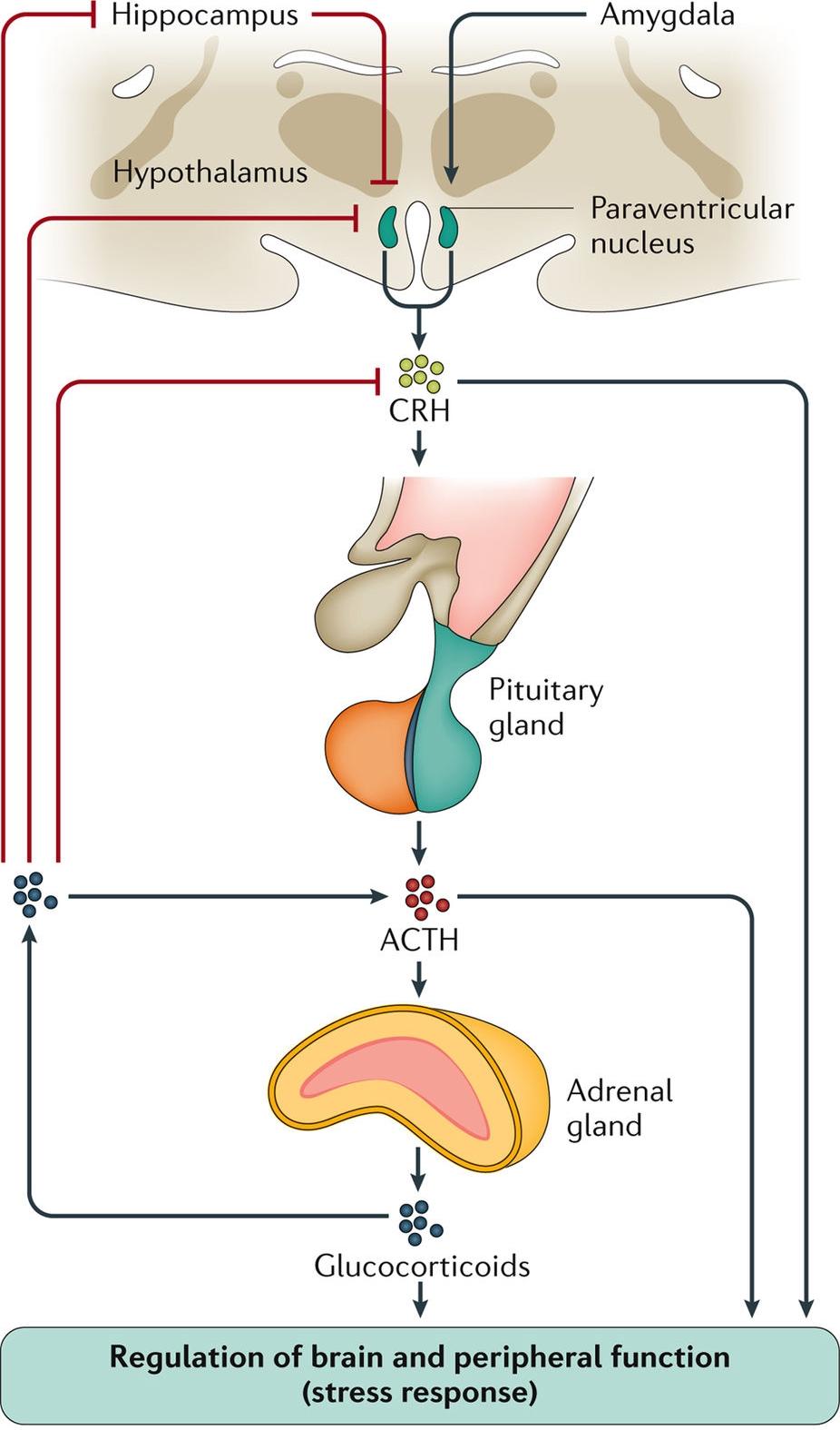 Pituitary Adrenal Axis.jpg