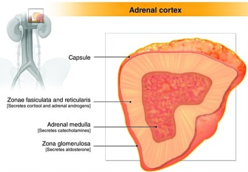 Adrenal Gland.png
