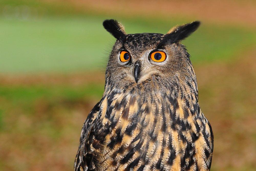 european-eagle-owl.jpg