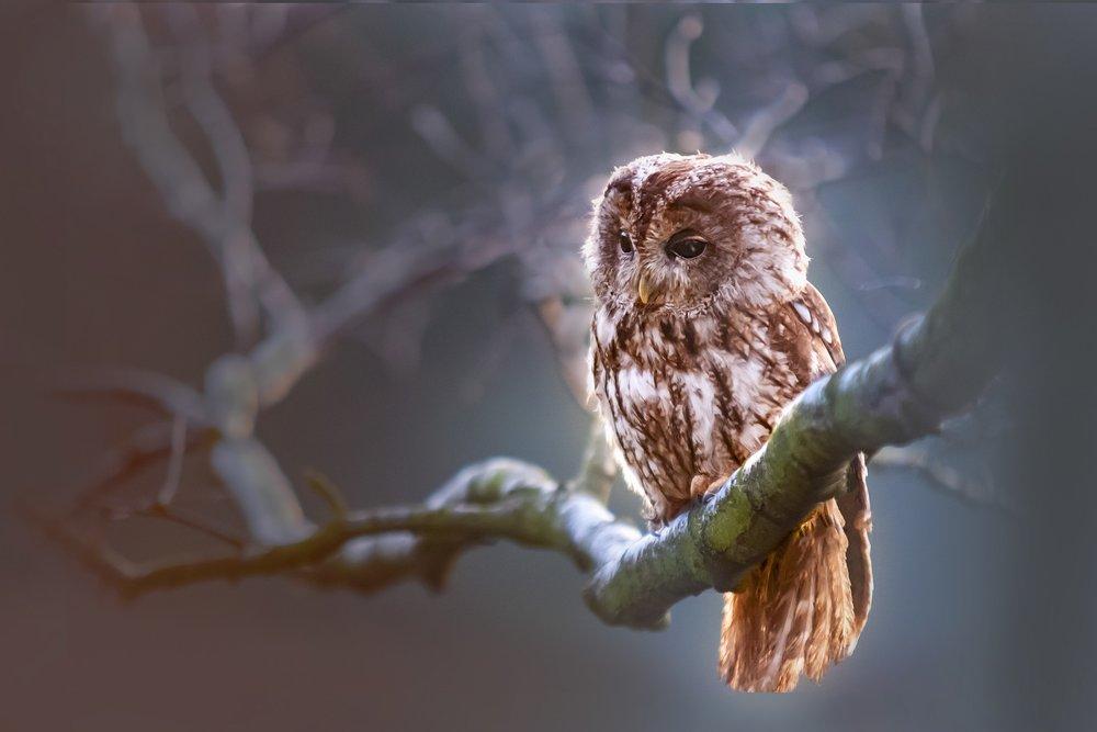 Owl, tree