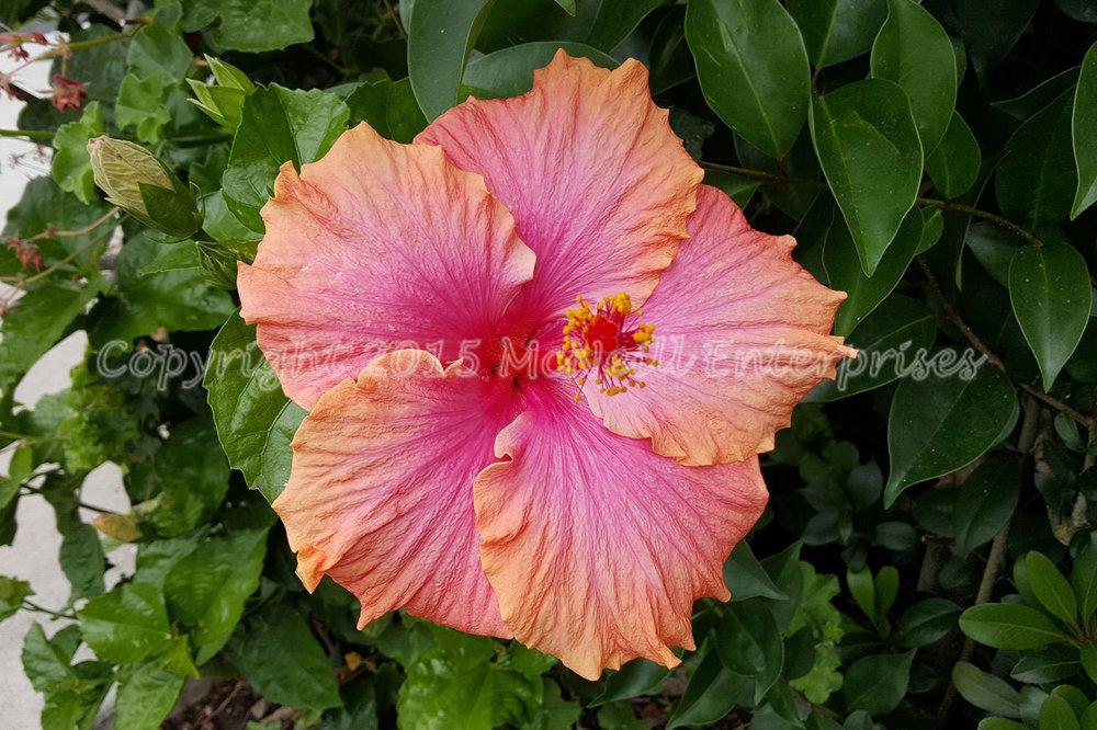 hibiscus_peach_pink.jpg