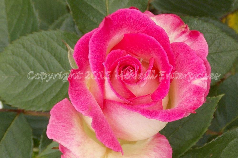 rose_pink_white.jpg