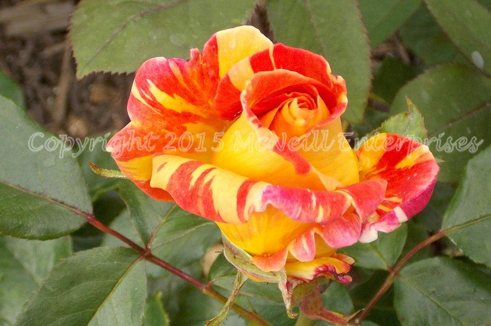 rose_red_yellow.jpg