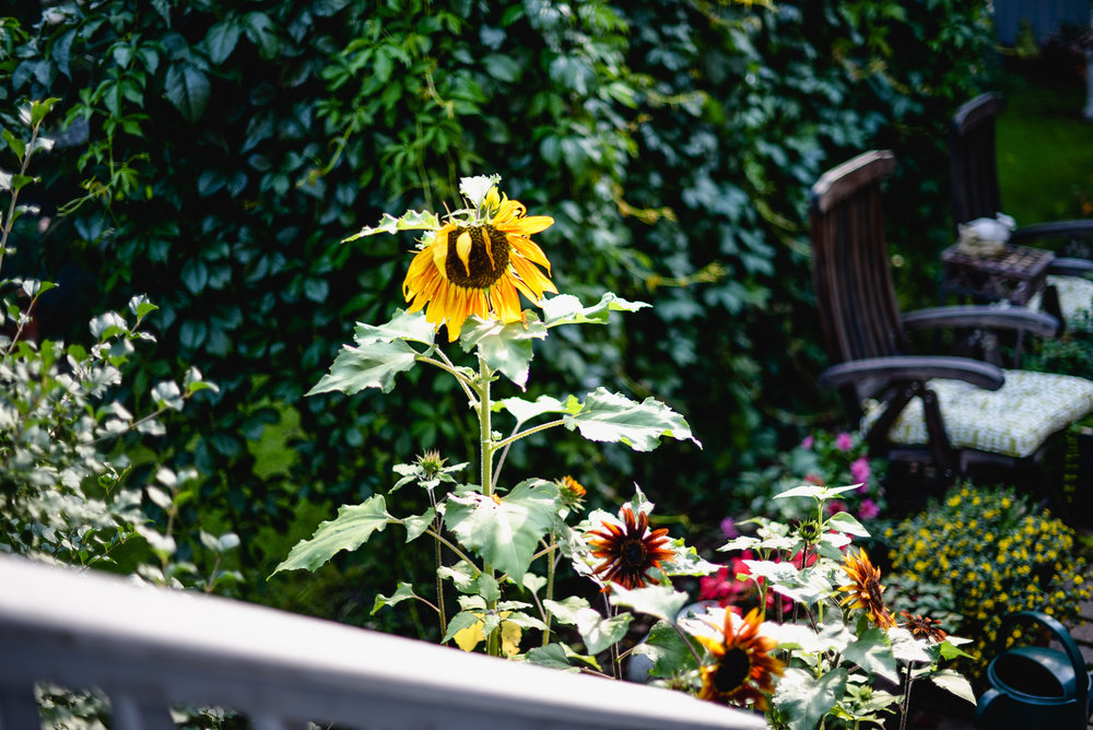 sunflowers and backyard