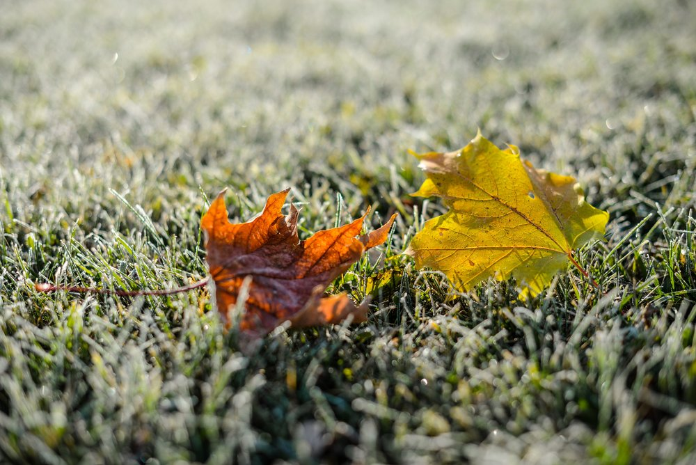 2 leaves in the frost