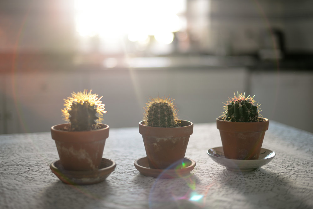 sunlight and cacti