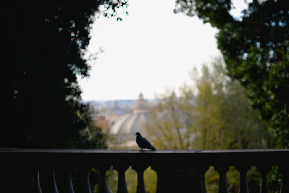 a pigeon in rome