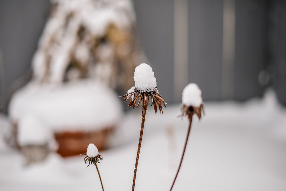 coneflowers and snow