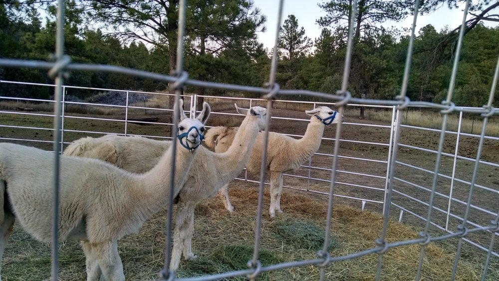 Our llamas...we NEED our truck to pull the trailer that transports them...how about you?  Do you rely on your vehicle for work, school, or play?