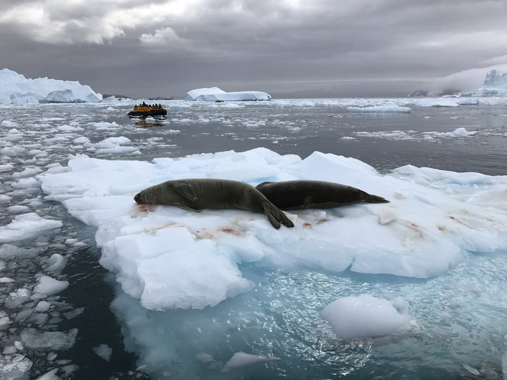 Two crab seals resting on sea ice. The seal nearest me was bleeding. Our guide thought it might have had an encounter with a leopard seal.
