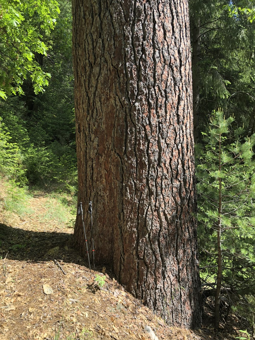 See my hiking poles to get a perspective for size of tree