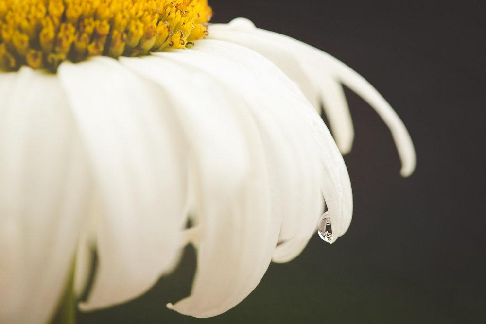daisy (1 of 1).jpg