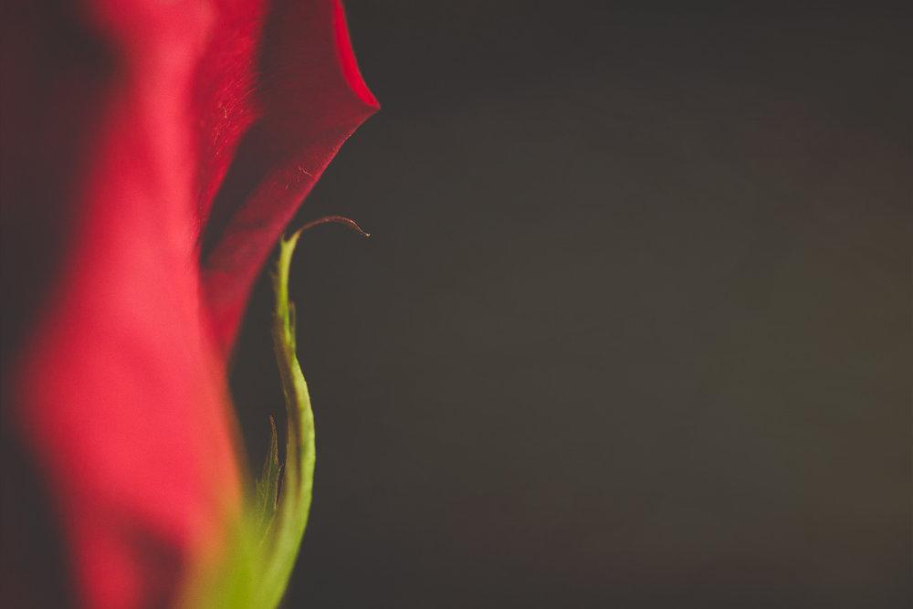 rose (1 of 1).jpg