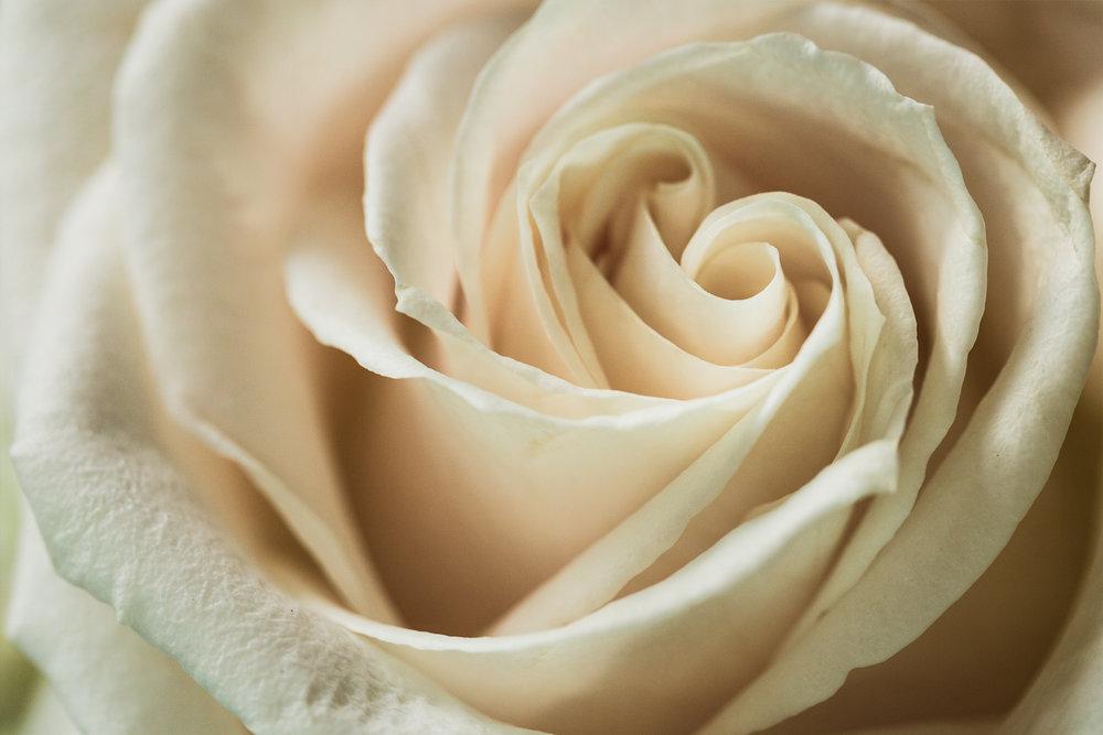 whiterose (1 of 1).jpg