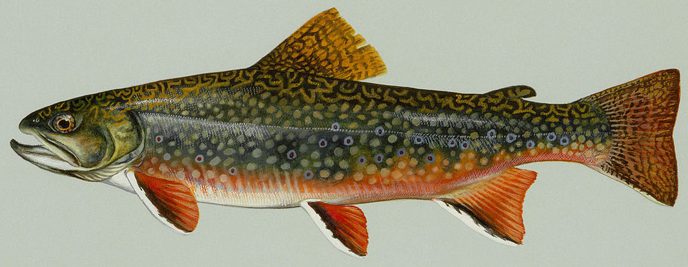 1024px-Brook_trout.jpg