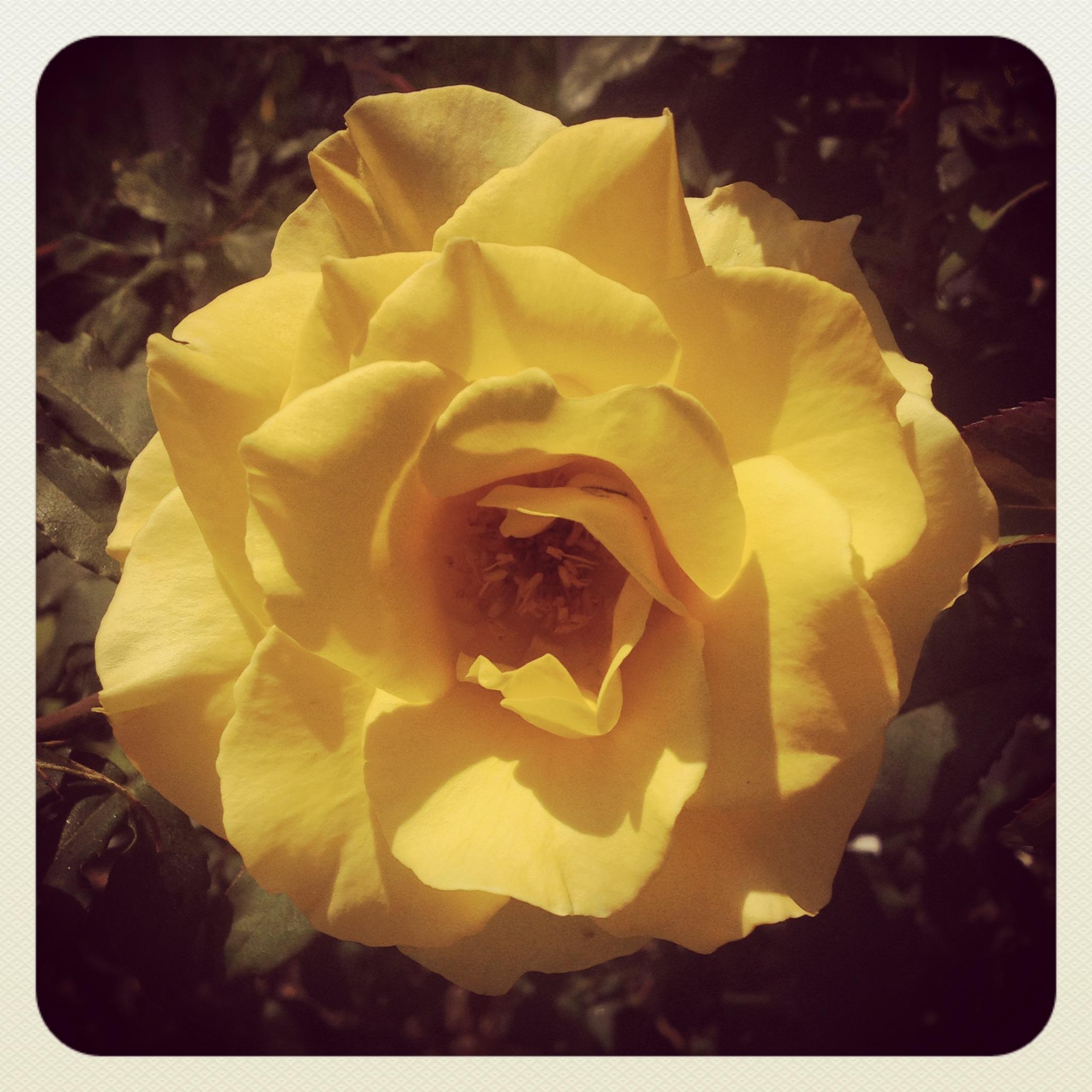 Rose 5/27/14