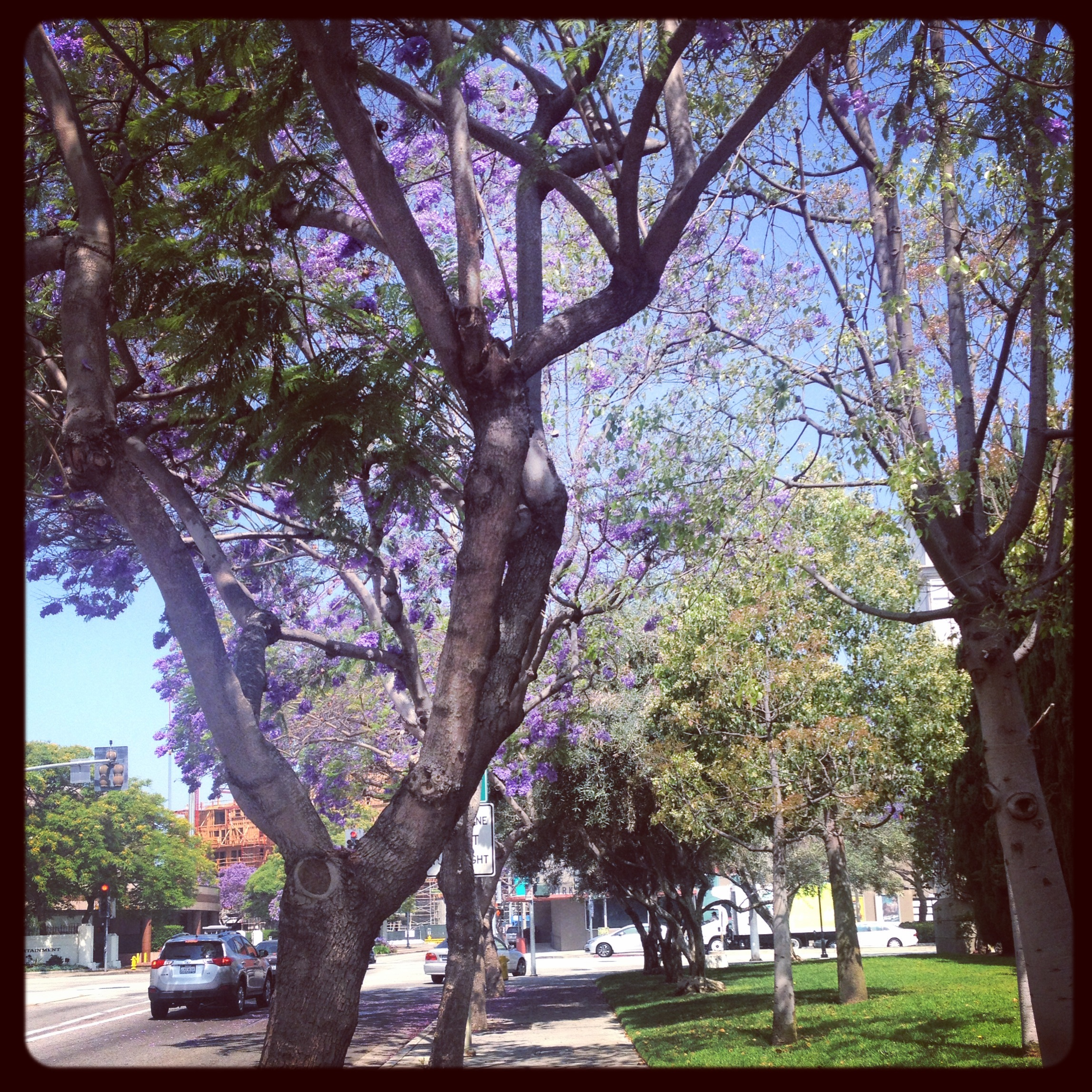 Gorgeous trees with fabulously vibrant, purple blossoms are everywhere down here: Jacarandas.