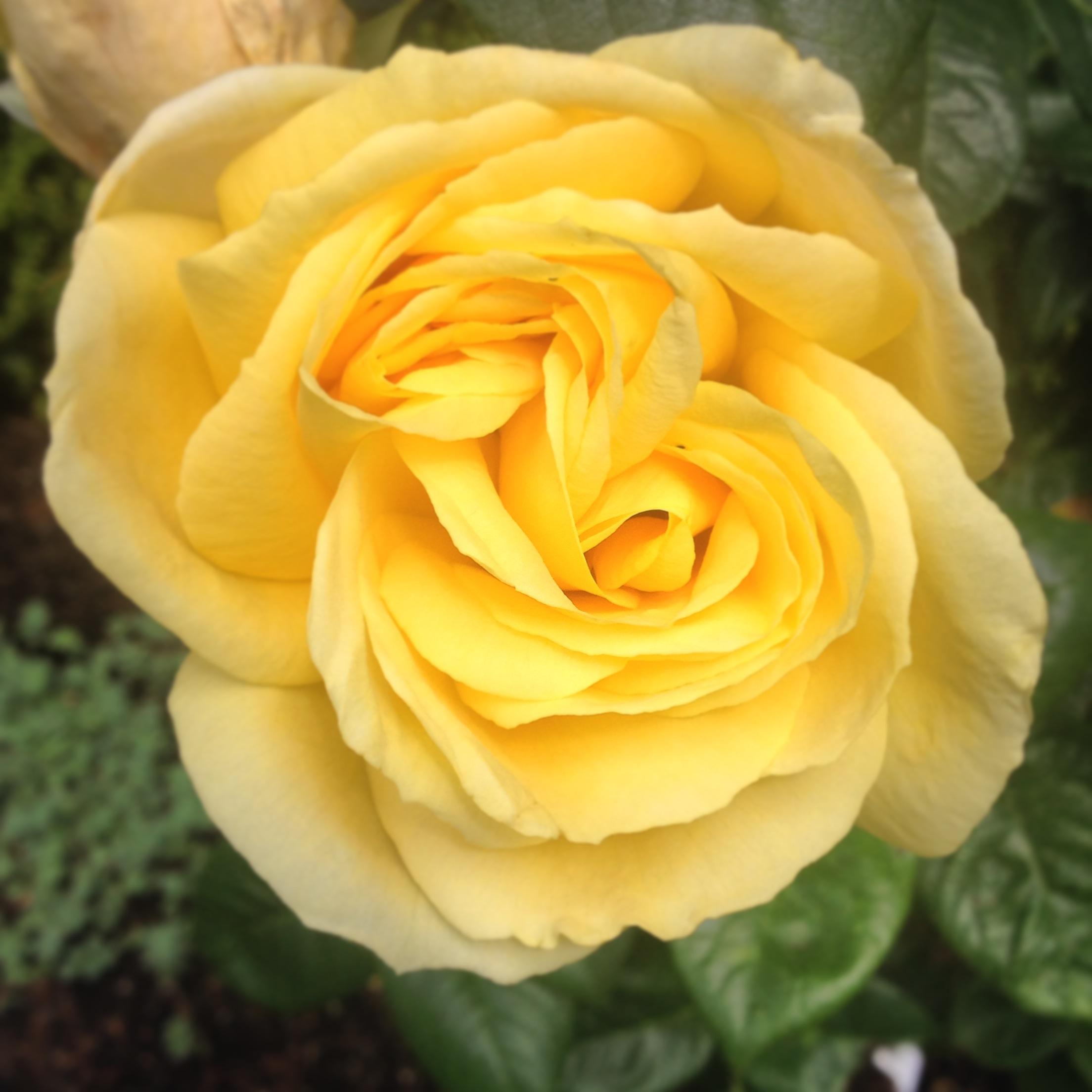 Pittock Mansion Rose 6/29/14