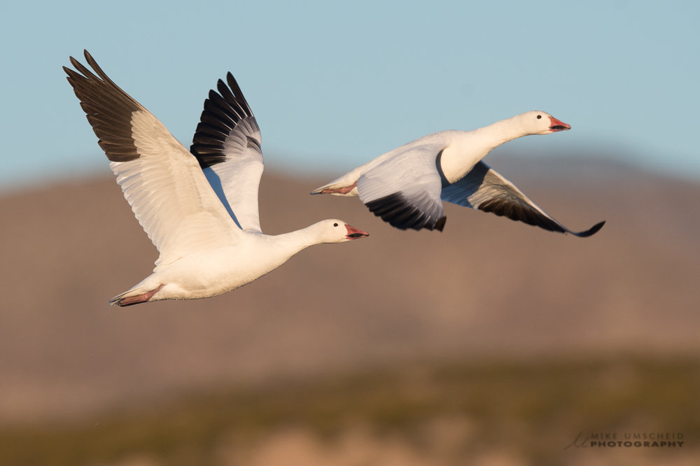 down-feather-goose