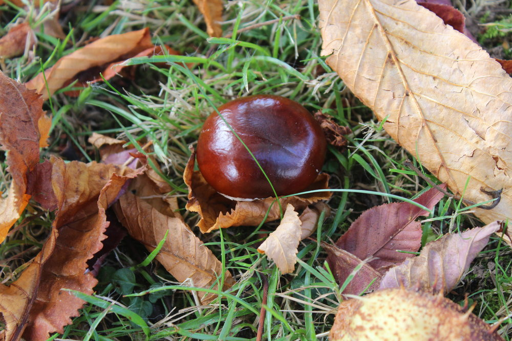conker collecting in the UK