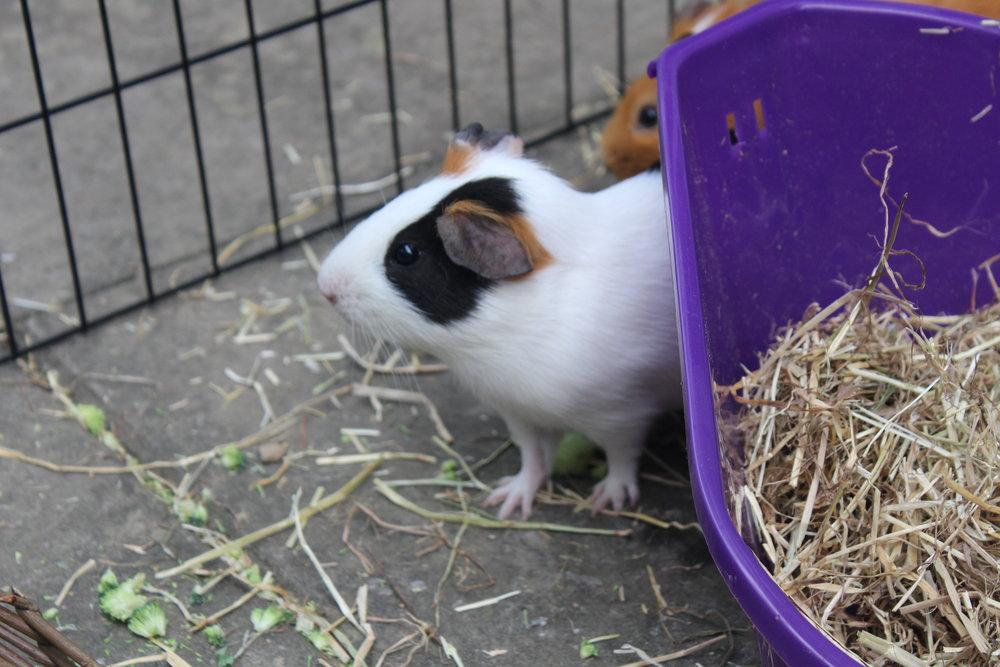 pet guinea pigss