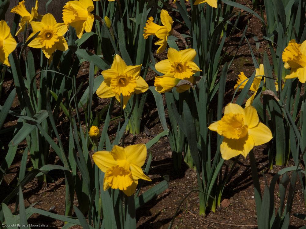 Daffodil Hill, © 2011 Barbara Moon Batista