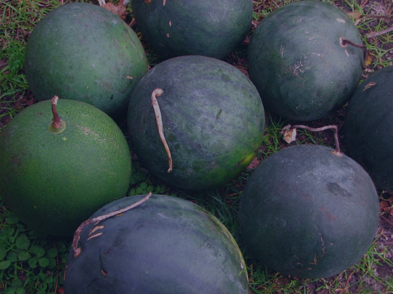 """Icebox"" Melons"
