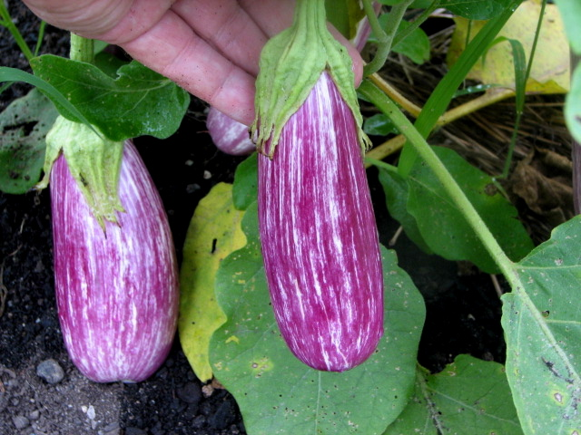 The open-pollinated Antigua Striped Eggplant from Baker Creek Heirloom Seeds (Mansfield, MO 65704) rivals the hybrid, Fairy Tale F1 (which was selected as an AAS winner) in beauty and productivity.