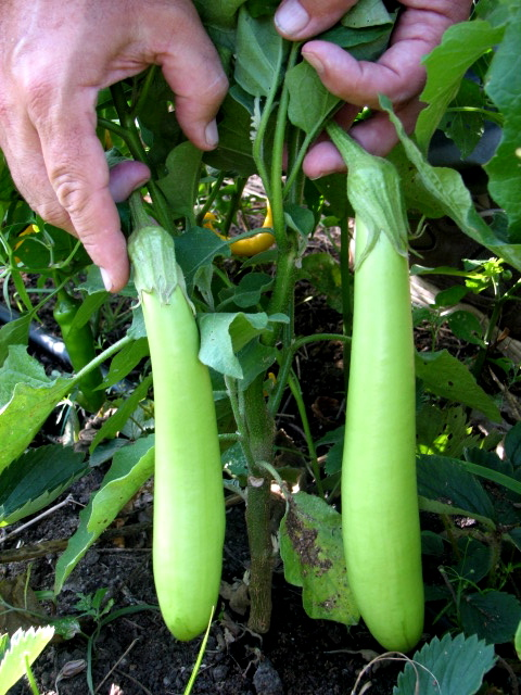 While there have been heavily promoted (in the garden media) green eggplant hybrids, nothing surpasses the open-pollinated Long Green from Thailand.