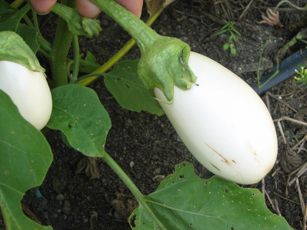 Casper, an open-pollinated white eggplant is considered one of the best for it's mild flesh.