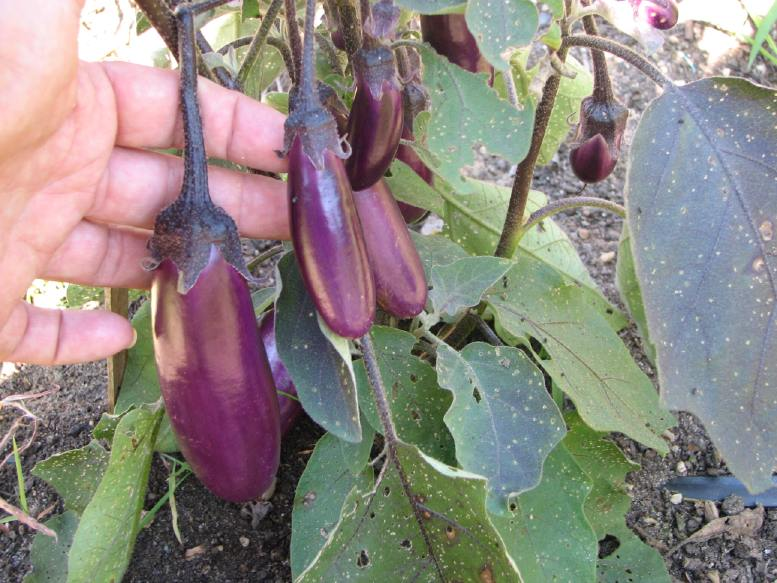 "Cluster eggplants are common in India. They have contributed their genetics to several ""new"" releases that we're now seeing in this country. We marvel at them because of their incredible productivity."