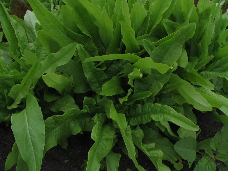 Yu-Mai (Chicken Lettuce or Asian Sword Lettuce)