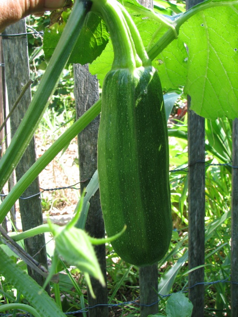 From Great Britain A Vining Zucchini
