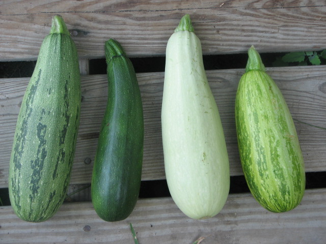 Shades of Green Tatume and Bush Zucchini Crosses