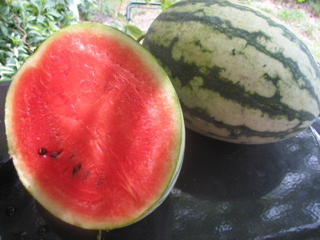 I really liked these Early Canada melons. Small, oval and striped, I wasn't expecting the sugary and juicy flesh which had few seeds. Watch the tendril opposite the stem bearing the fruit. When it turns brown this watermelon is at it's peak. It ripens fast.