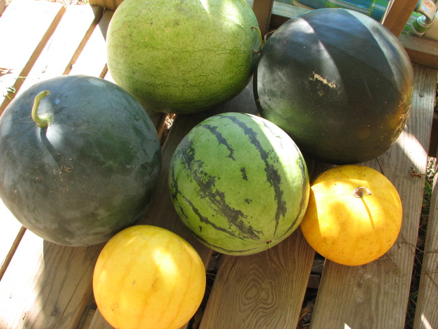 A medley of melons awaiting our taste test