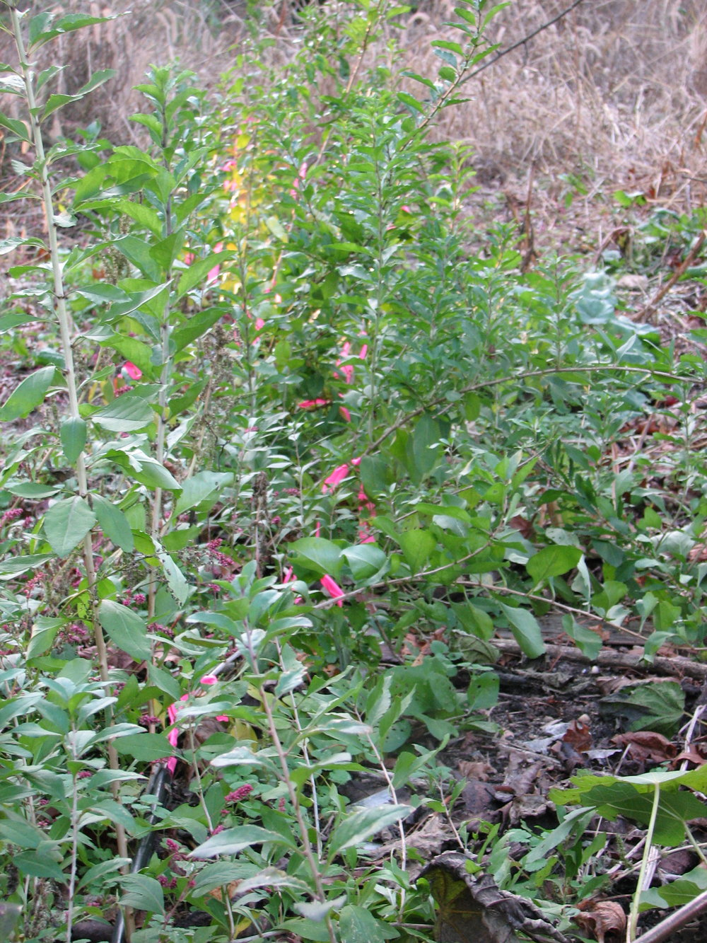 Goji Plants