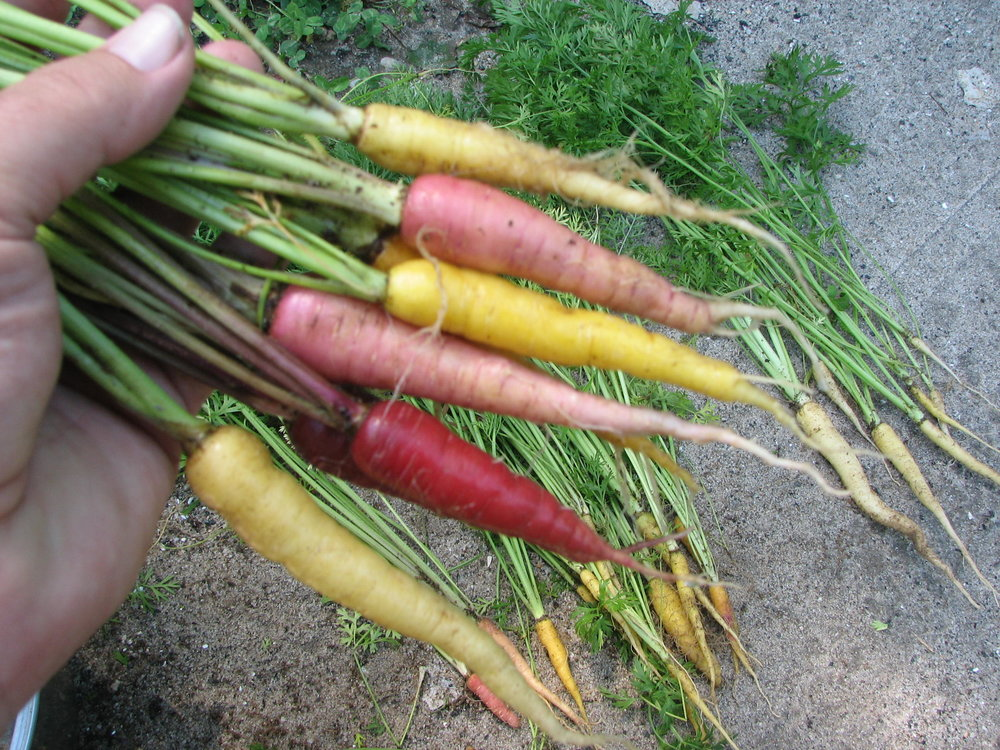 Flanders Colorful Carrots
