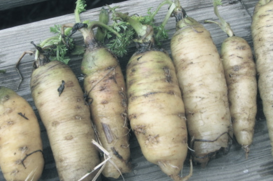 White carrots from a late fall planting overwintered in the root cellar