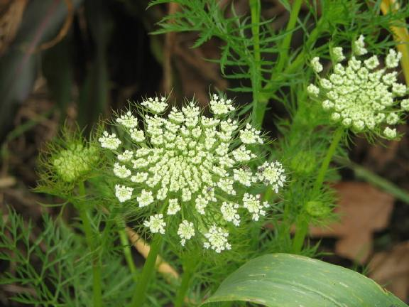 Queen Anne's Lace type flowers